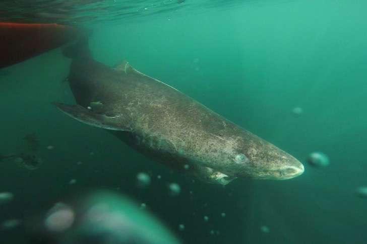 El tiburón más viejo del mar